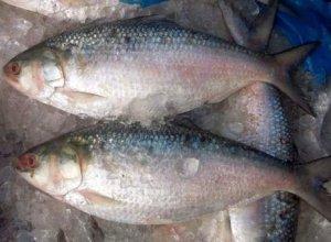 02.Hilsa Fish