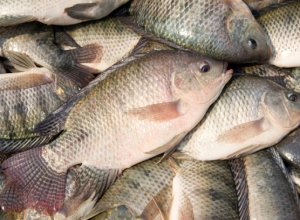 04. Talapia fish