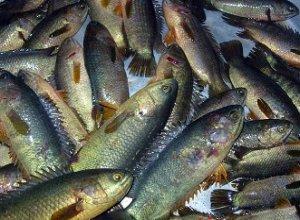05.Koi Fish