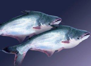 07. Pangasius Fish