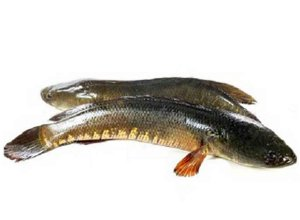 14.Shol Fish